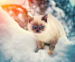 Siamese cat is walking in the snow