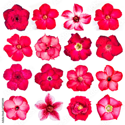 Fotobehang Azalea Collection of red flowers isolated on white background.