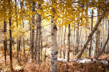 aspen trunks autumn colorado