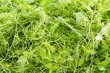 brèves chouchou, chayotte, légume vert