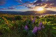 Beautiful widflower in sunrise, Columbia river gorge, Oregon