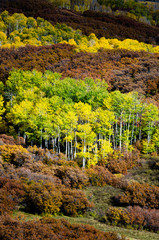 aspen trees surrounded by autumn oak
