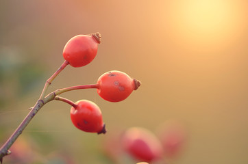Rosehips on branch at sunset