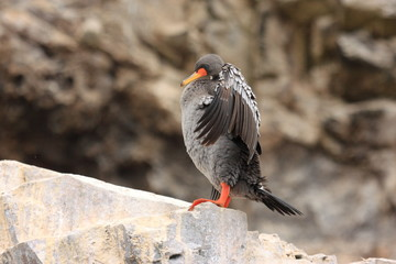 cormorano zampe rosse red-legged comorant
