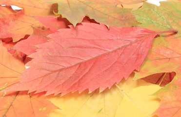 Heap of autumnal maple leaves