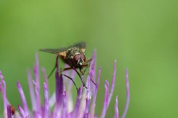 mosca su fiore