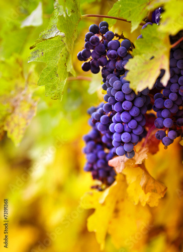 Papiers peints Vignoble Branch of red wine grapes