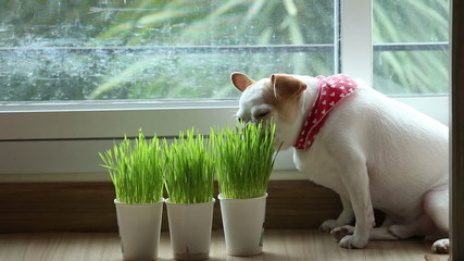 Chihuahua puppy eating wheat grass