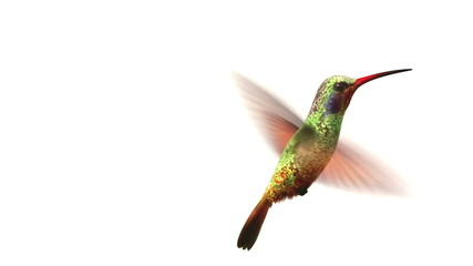 Humming bird on white, 3d animation.  set your flower