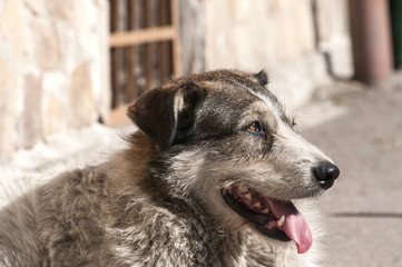 Street adult mixed breed dog lying to house wall