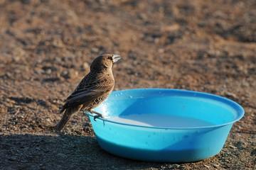 Fütterung Webervogel