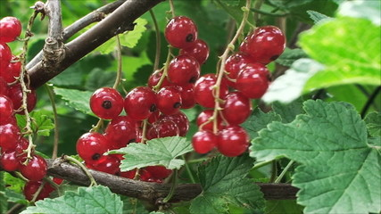 a branch of the red currant swaying in the wind