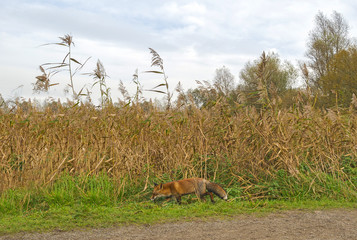 Red fox walking along reed in nature at fall