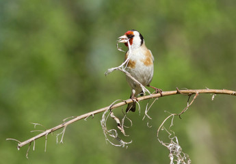 European Goldfinch with dry branch