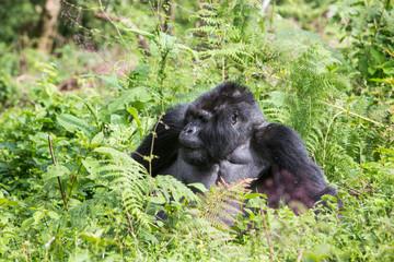 Wild gorilla eating plants