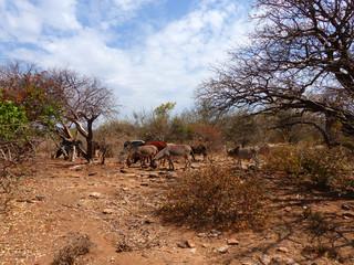 wilde grasende Kuh- und Eselherde in Mangola Tansania Afrika