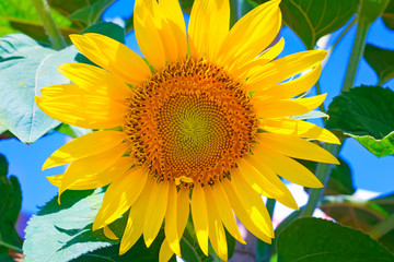 Large flower sunflower with leaves. Presents closeup.