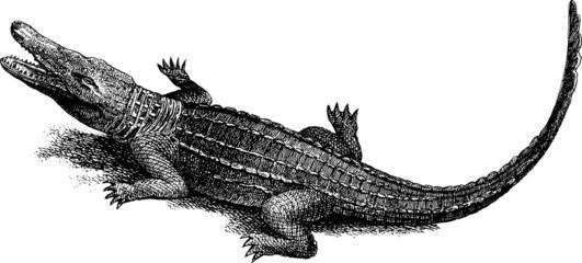 Vintage image crocodile alligator