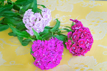 Beautiful bright pink flowers of a carnation. Are presented by a