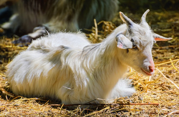 Home Goat