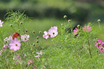 Cosmos Flowers Collection, Koga City