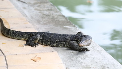 The Water monitor  the large species of monitor lizard
