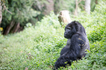 Mountain gorilla waiting