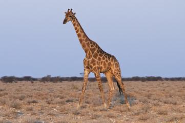 Giraffe, Okaukuejo, Etoscha-Nationalpark, Namibia, Afrika