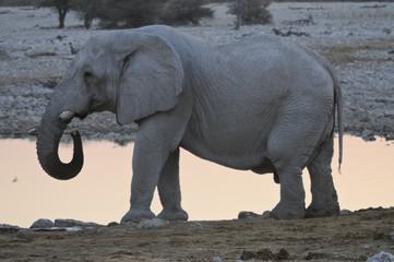 Elefantenbulle trinkend, Okaukuejo, Etoscha-Nationalpark, Namibi