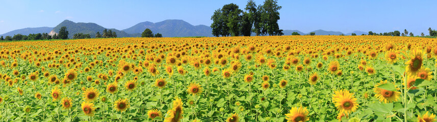 Panoramic images of sunflowers.