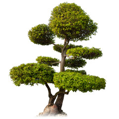 Tree isolated on white background. Asian bonsai plant for orient