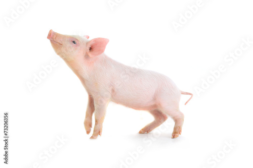 canvas print picture pig