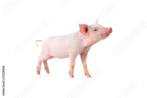 canvas print picture pig