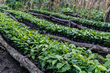 Coffee plantation, seedlings, trees from north of nicaragua