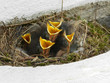 canvas print picture - young bird babies in a nest