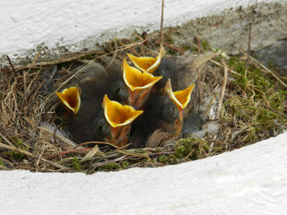 young bird babies in a nest