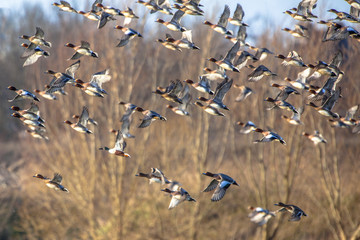 Flock of Eurasian wigeon (Anas penelope) in flight