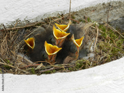 canvas print picture young bird babies in a nest