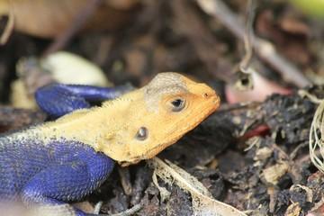 Red-headed agama lizard at Fairchild Gardens