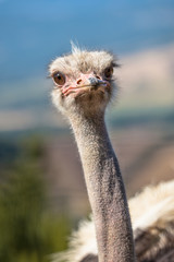 Potrait of an African Ostrich in Natural Environment