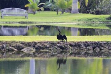 anhinga Bird by the lake - Fairchild Gardens