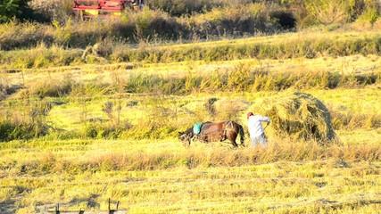 Farmer loading straw manually on horse trolley