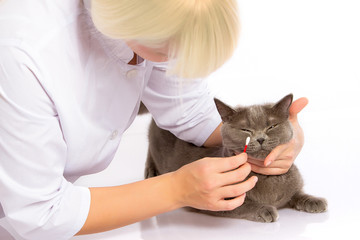 doctor and a British cat on white background