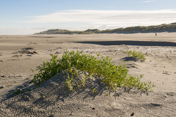 Cakile maritima on the North Sea beach of Netherlands