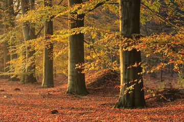 Beech trees in an forrest on sunny day in autumn.