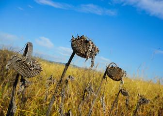 Schräge Sonnenblume
