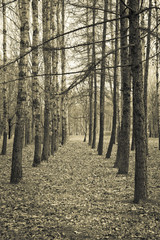 Avenue of birches and conifers. Sepia, vintage style