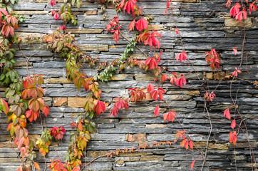 muro y enredadera