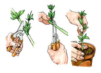 Preparation of propagule for planting. Botany.