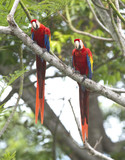 scarlet macaw pair tree, carate, costa rica poster